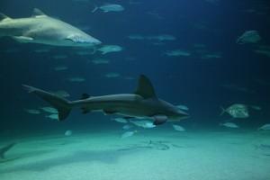 Pagina tiburones 1