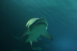 Pagina tiburones 2